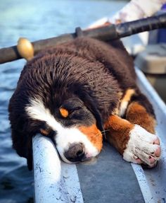 Bernese Mountain Dog breed information including pictures, characteristics, training, behavior, and