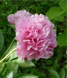 Carnation Boucuet (1996 США Seidi Bill)