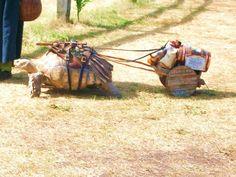 renaissance fair turtle
