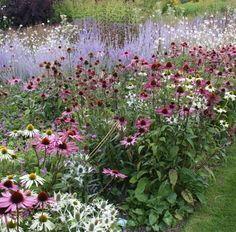 How to Create Great Plant Combinations-Echinacea, white & purple, Eryngium, Perovskia and Moilinia Prairie Planting, Prairie Garden, Garden Cottage, Back Gardens, Outdoor Gardens, Beautiful Gardens, Beautiful Flowers, Cut Flower Garden, Flower Gardening
