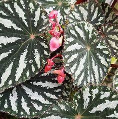 Begonia 'Fredia'
