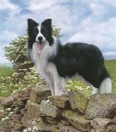 Border Collie Dog Breed - Our Bruno a natural & protector. He looks like my beloved Murphy! Border Collie Branco, Border Collie Fotos, Border Collie Pictures, Border Collie Puppies, Collie Mix, I Love Dogs, Cute Dogs, Herding Dogs, Golden Retriever