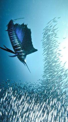 Sailfish on the hunt/The Deep