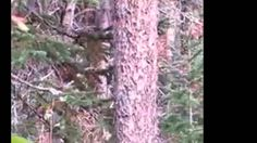 Rocky Mountain Sasquatch Organization: Possible Bigfoot found by one of our viewers. Screen shots of the suspected Bigfoot from Bear Wallow Epic Bigfoot Expedition.