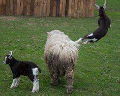 goat jump- British Alpine kid using a sheep as a jungle-gym #goatvet