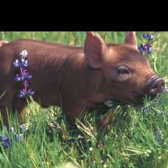 Baby Duroc cross smelling the flowers <3
