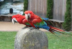 This weeks is from May 2013 and Rosemary Low's Green-wing Macaw fact sheet. Cockatoo Toys, Green Wing Macaw, Parrot Facts, Beautiful Birds, The Good Place, Wings, Parrots, Animals, Blog