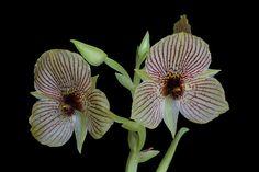Telipogon species - Flickr - Photo Sharing!