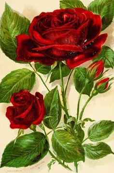 Todo para tu jardín: Rosa, la reina del jardín