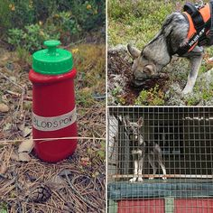 Vellykket blodspor med Nero i dag. Satser på at det fortsetter like bra fremover, som det gjorde i dag! ��  #jämt #jämthund #jakt #hunt #hunting #jaktogfiske #jakthund #elghund #huntingdog #jaktdamer #hundefører #norge #norway #sporing #blodspor #ettersøk #ettersøkshund #jeger #jaktjenter http://misstagram.com/ipost/1566074311068298424/?code=BW70EnbFyy4