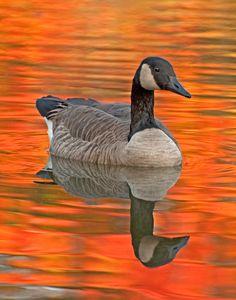 Canada Goose, taken by Karin McDonald in Milton, Ontario, courtesy of Birds and Blooms Magazine.