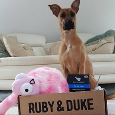 One of our many happy Ruby & Duke #Dukebox dog toy and treat customers www.rubyandduke.com. Use our pawesome promo codes to get a 50% discount on a 12-month subscription: UK code: WOOFWOOFUK, Irish code: WOOFWOOFIE, or get 50% off a 3-month subscription with TAILWAGUK or TAILWAGIE. #dogsofpinterest #dogsofinstagram #dogs #puppy #puppies #dogoftheday #bowwowtimes