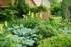 Hometalk :: Along the Shade Path garden this week, the perennial yellow foxgloves…