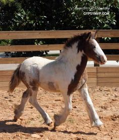 Cutie pie. :) Gypsy Vanner Horses for Sale | Colt | Skewbald Bay & White Spotted | Willie