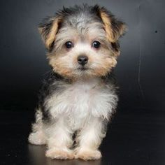 Morkie. TOO CUTE. We need to find out little male yorkie a Maltese girlfriend so we can have this :)