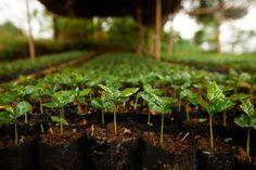 Bali coffee seedlings ready for replanting