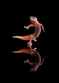 Dancing Gecko by William Cen