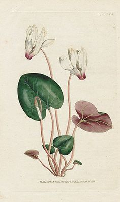 William Curtis Botanical Magazine 1st Edition Prints 1787