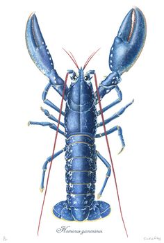 ✈ Great Print of a Blue Lobster for the Beach House ✈
