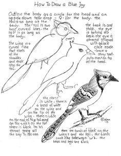 A parent teacher resource with a drawing lesson and worksheet for the young artist on how to draw a blue Jay bird. Bird Drawings, Easy Drawings, Animal Drawings, Drawing Sketches, Pencil Drawings, Drawing Birds, Sketching, Drawing Lessons, Drawing Techniques