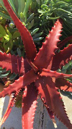 Cactus Planta, Cactus Y Suculentas, Succulent Gardening, Planting Succulents, Cool Succulents, Rare Flowers, Exotic Plants, Houseplants, Indoor Plants