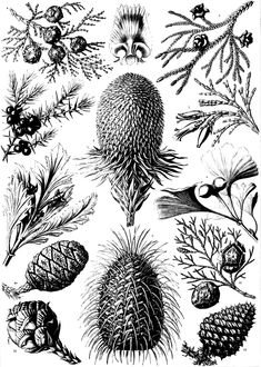 Free coloring page coloring-old-engraving-flowers-vegetation. coloring-old-engraving-flowers-vegetation