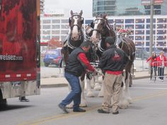 Budweiser Clydesdales Before NLCS Game 5