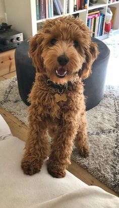 Chien Goldendoodle, Goldendoodle Haircuts, Goldendoodle Grooming, Mini Goldendoodle Puppies, Poodle Grooming, Dog Grooming, Cute Dogs And Puppies, Baby Puppies, Pet Dogs