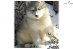 Siberian Husky Timber Wolf Cross Puppy In Utah Our Favorite Pics Pinterest Siberian