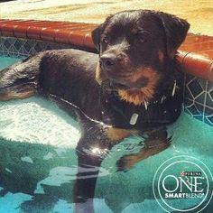 Rottweiler - just relaxing #rottweiler - just relaxing!