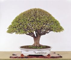 See attached a picture of a simply stunning Bonsai tree. See www.bonsaiempire.com #bonsai #japan #tree #nature