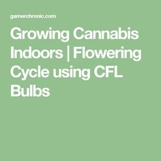 Growing Cannabis Indoors   Flowering Cycle using CFL Bulbs