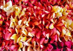 Let us not forget about plumerias, they're fragrant, fierce and most importantly FREE