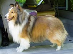 Sheltie History: Learn about the evolution of Shetland Sheepdogs