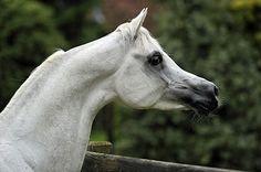 Egyptian Arabian stallion, A Rasin, with the finely sculpted head of the desert horses