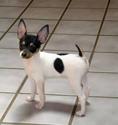 Toy Fox Terrier puppy - so cute!