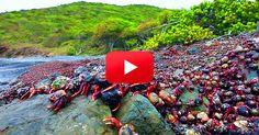 Hermit crab migration, consisting of millions of the crustaceans, caught on film! Must watch!