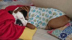 This much I want to wake up #bulldog #englishbulldogs