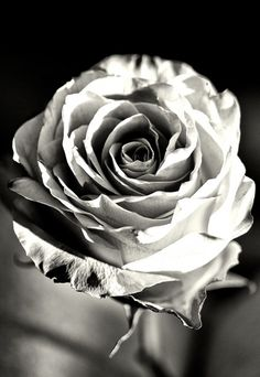 The Rose by Tara Ward | One Million Photographers