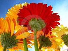 Photo about Close-up colored daisies against sky. Image of petal, gerbera, botany - 7299141 Daisy Flowers, Daisies, Close Up, Victoria, Sky, Plants, Photos, Image, Color