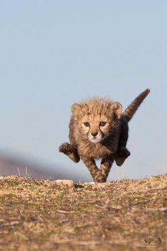 Cheetah by reva