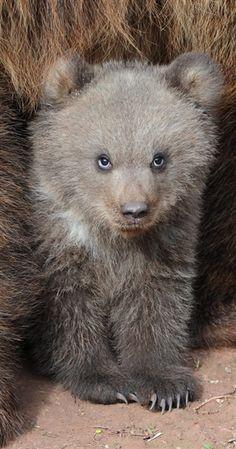 One intense little bear!  (Franziska Kraufmann / EPA)