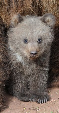 Grizzly Bear Cub