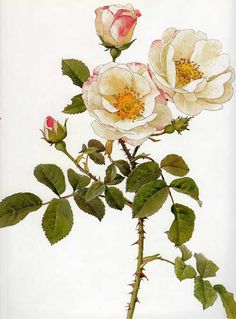 Picturing Plants and Flowers: Alfred Parsons: Rosa damascena rubrotincta (rosa blanca) Vintage Botanical Prints, Botanical Drawings, Botanical Illustration, Vintage Flower Prints, Botanical Flowers, Botanical Art, Watercolor Flowers, Watercolor Art, Jugendstil Design