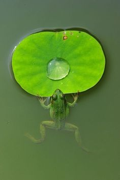 For on a lily pad. Idea for possible posing of frog / toad subject. Reptiles Et Amphibiens, Mammals, Beautiful Creatures, Animals Beautiful, Frosch Illustration, Animals And Pets, Cute Animals, Small Animals, Frog And Toad