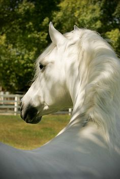 theequus:          White Arabian by NotableEquine on Flickr.