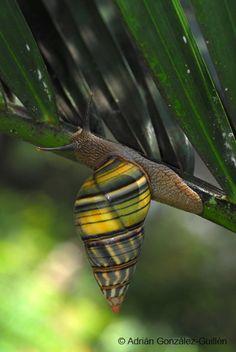 ˚Liguus fasciatus a Cuban snail