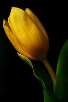 Yellow tulip by  ANTONI on 500px