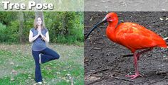 Tree Pose - Yoga Positions Demonstrated By Animals Funny Baby Images, Funny Pictures For Kids, Funny Animal Pictures, Funny Kids, Funny Animals, Fail Pictures, American Funny Videos, Funny Dog Videos, Humor Videos