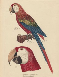 antique parrot illustration, a vintage printable digital image from ArtDeco on Etsy. This is a good source for vintage illustrations that you can print yourself.   #vintageparrotprints #vintageimages #tropicaldecor #tikibardecor #parrots
